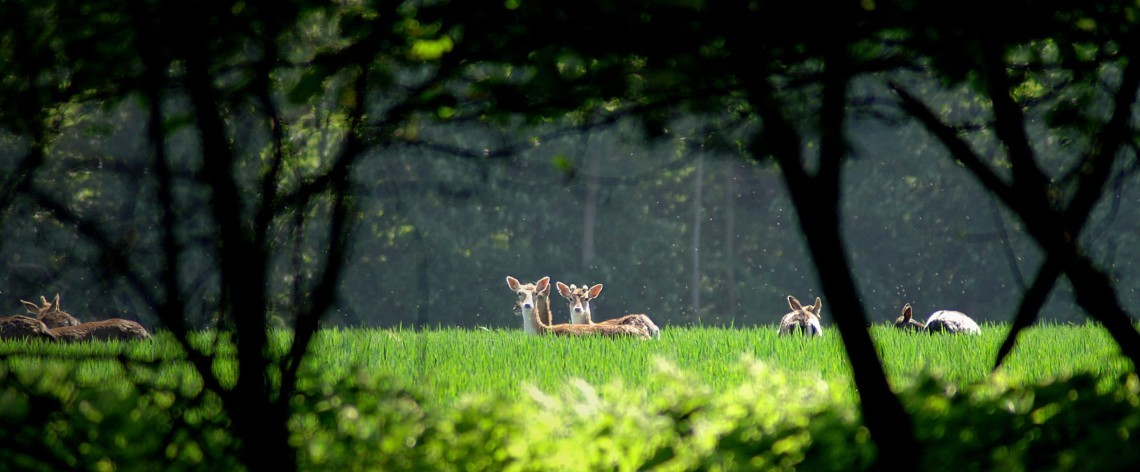Deer in parkland at The Ickworth in Suffolk