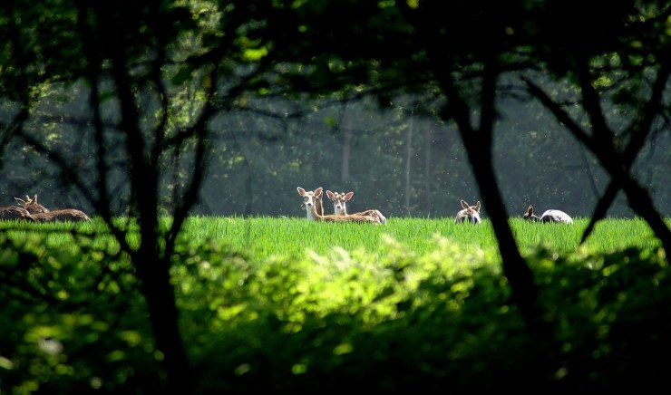 Deer living in parkland around The Ickworth in Suffolk
